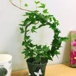 English Ivy Hedera Evergreen Hardy Wall Climbing Hanging Baskets Gardening Plant